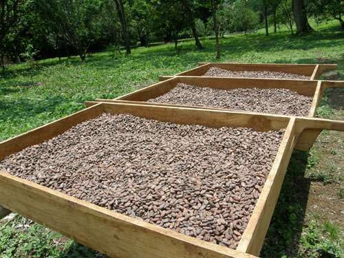 Mombacho cocoa tour: drying of the cocoa beans