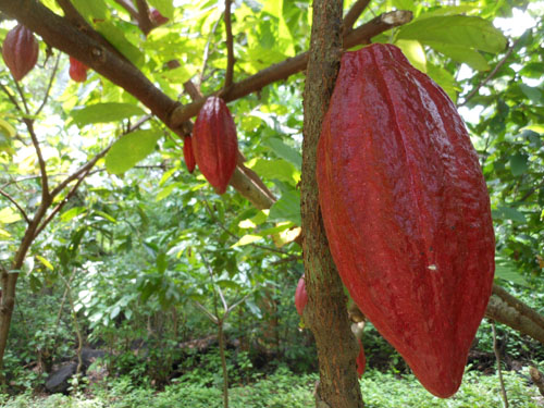 Mombacho cocoa tour: the pods