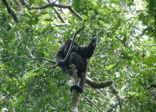 Tikal: Howler Monkey