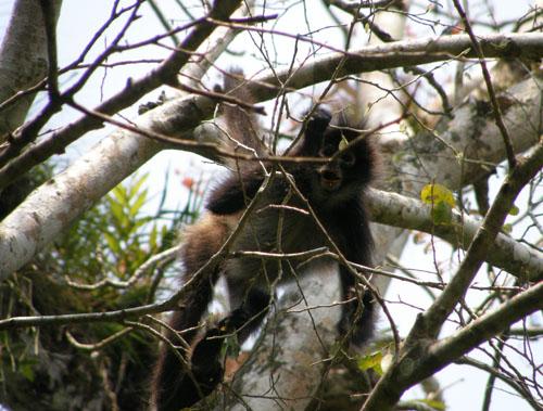 Tikal: Spider Monkey
