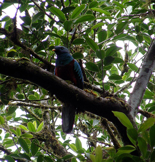 Female Quetzal Bird