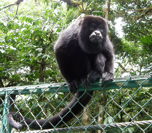 Howler monkey at Santa Elena