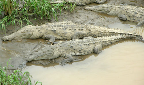 Tarcoles river crocodiles: sleeping couple