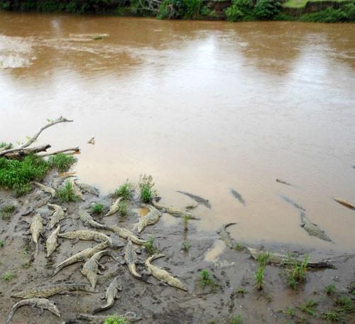 Tarcoles river: crocodiles