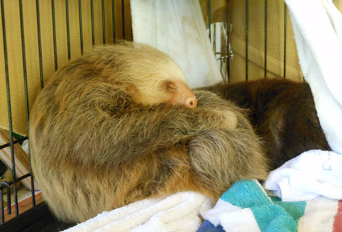 Cahuita sloth sanctuary: Sloth nursery