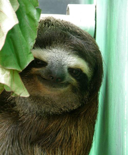 Cahuita sloth sanctuary: Resident three toe sloth