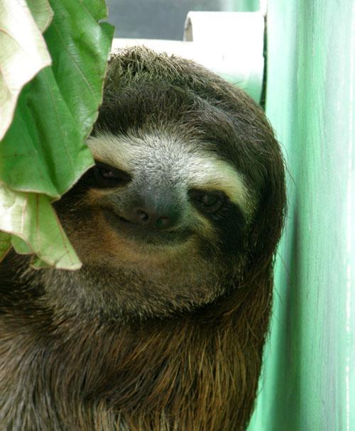 Cahuita sloth sanctuary: Resident three toe sloth