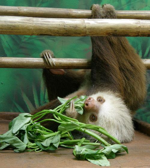 Cahuita sloth sanctuary: Resident two toe sloth