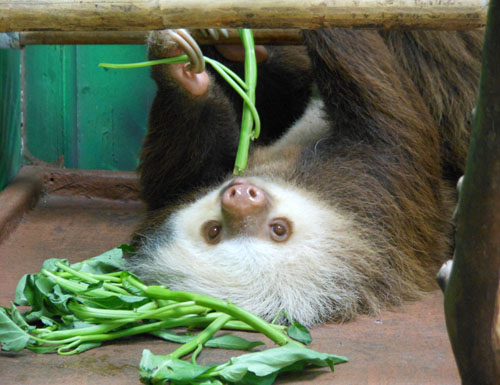 Costa Rica: Cahuita Sloth Sanctuary 2 toe sloth having a snack