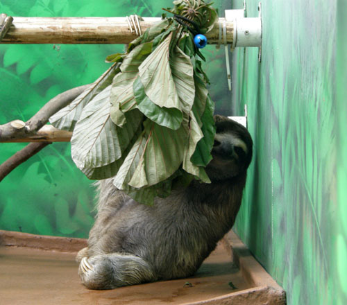 Costa Rica: Cahuita Sloth Sanctuary 3-toe sloth having a snack