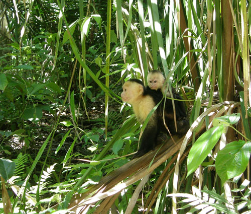 Costa Rica: Manuel Antonio National Park, white-face monkey with young