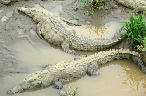 Costa Rica: Tarcoles river bridge, lazy crocodiles