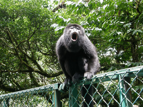 Costa Rica: Santa Elena Could Forest - howler monkey crossing