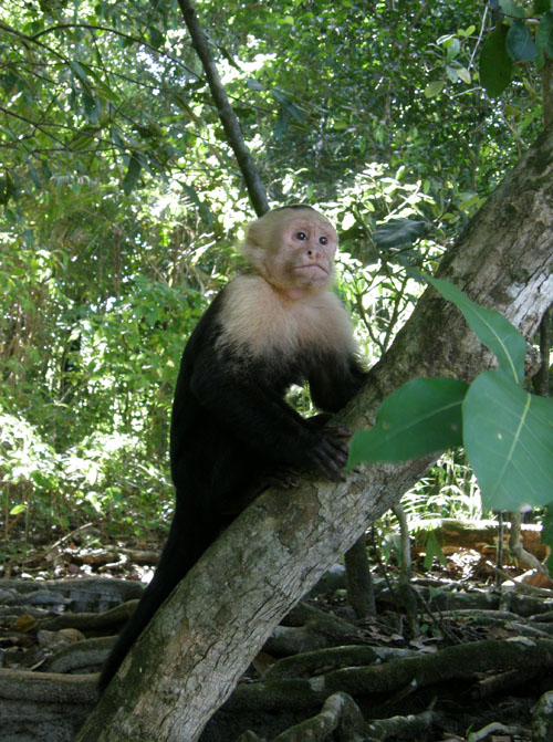 Manuel Antonio National Park: white face monkey