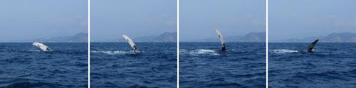Ecuador - Puerto Lopez: humpback whale watching