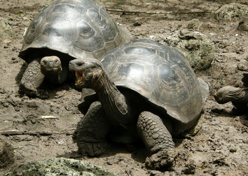 Floreana, Galapagos - giant tortoise yawn at Asilo de la Paz