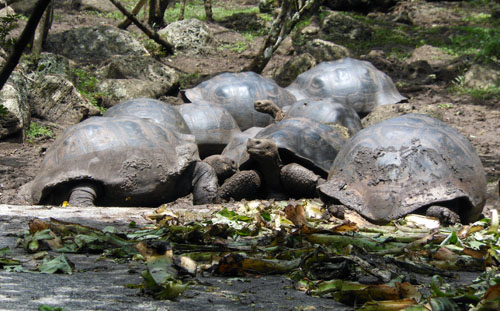 Floreana, Galapagos - giant tortoises at Asilo de la Paz