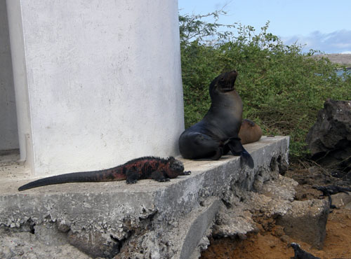 Floreana, Galapagos - marine iguana and sea lion greeting visitors at the dock