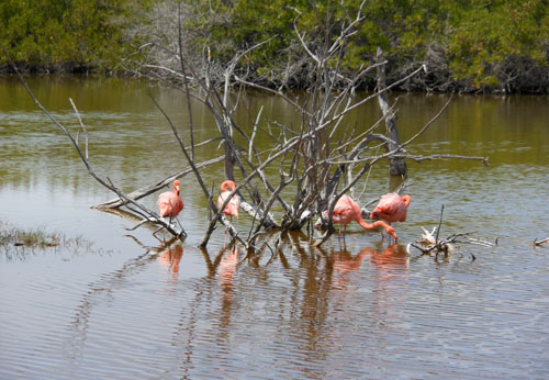 Isabela, Galapagos - the great flamingos in the wetlands