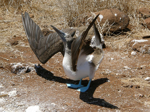 North Seymour, Galapagos - blue-footed booby courtship dance