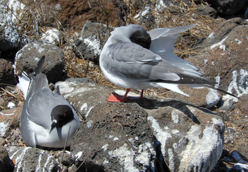 North Seymour, Galapagos - gulls