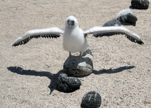North Seymour, Galapagos - young blue-footed booby learning to fly
