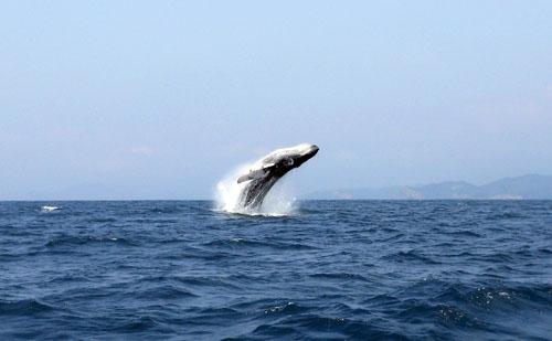 Puerto Lopez - humpback whale jump