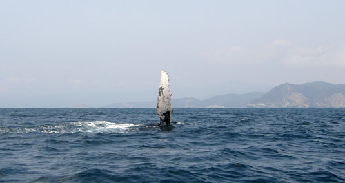 Puerto Lopez - humpback whale side-fin-wave