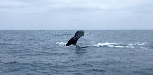 Puerto Lopez - humpback whale tail-wave