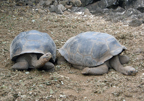 Santa Cruz, Galapagos - giant tortoises at Charles Darwin Research Centre
