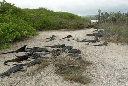 Santa Cruz, Galapagos - marine iguanas near Tortuga Bay