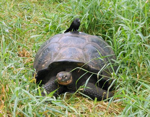 Santa Cruz, Galapagos - wild giant tortoise at Rancho Primicias