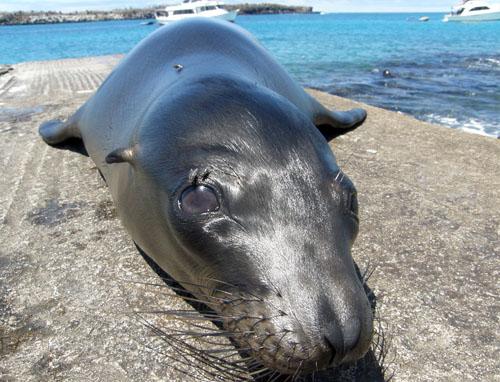 South Plaza, Galapagos - inquisitive sea lion close up