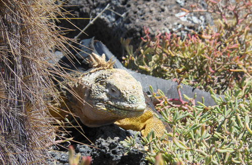 South Plaza, Galapagos - land iguana