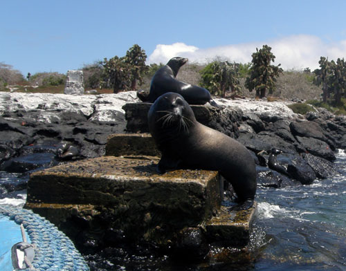 South Plaza, Galapagos - male sea lion blocking the jetty