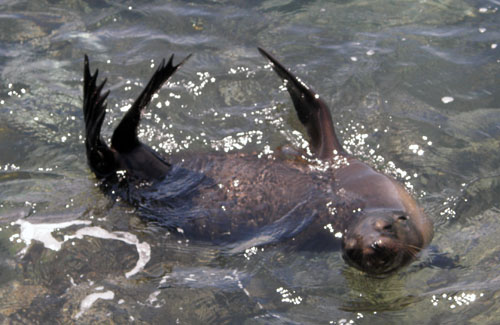 South Plaza, Galapagos - playful sea lion in water