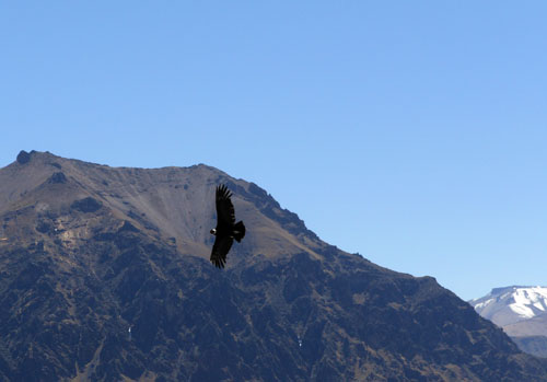 Colca Canyon - andean condor spotted at Cruz del Condor viewing point