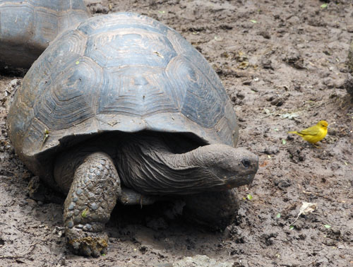 Galapagos, Floreana Island - giant tortoise with cute small yellow bird