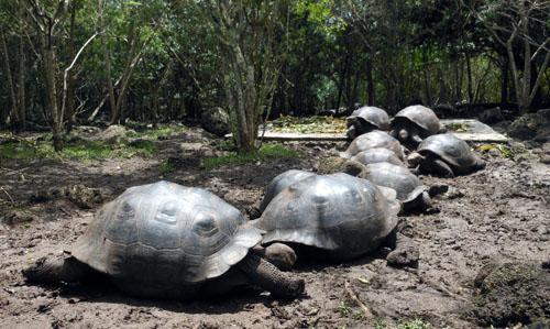 Galapagos, Floreana Island - giant tortoises breeding centre at Asilo de la Paz