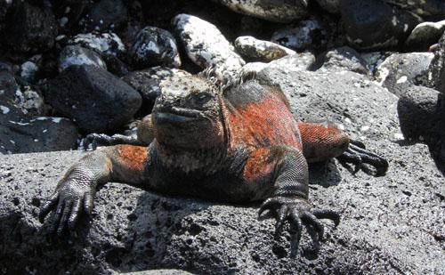Galapagos, Floreana Island - marine iguana sun-bathing