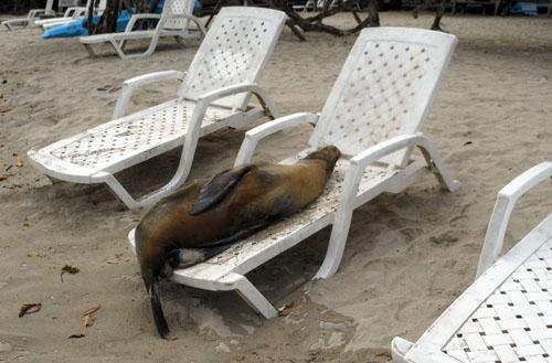 Galapagos, Isabela Island - funny sea lion on sunbed