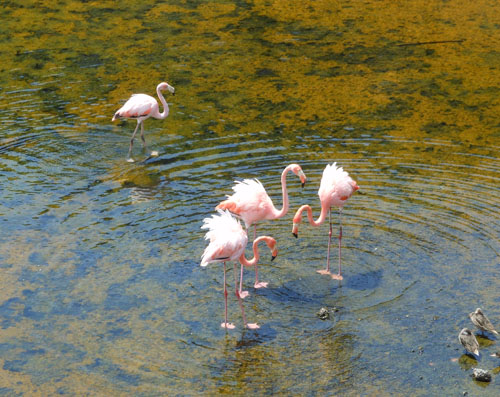 Galapagos, Isabela Island - great flamingos in Wetlands