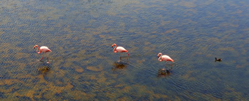 Galapagos, Isabela Island - great flamingos trio