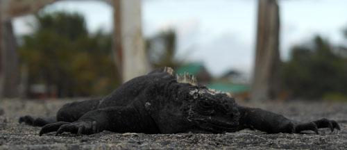 Galapagos, Isabela Island - marine iguana