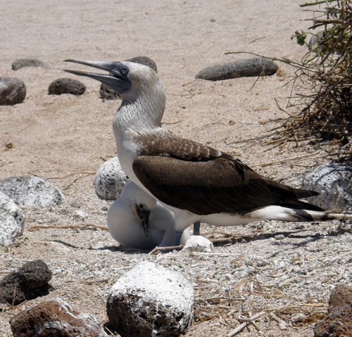 Galapagos, North Seymour Island - another blue-footed boobie with young