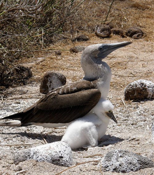 Galapagos, North Seymour Island - blue-footed boobie with young