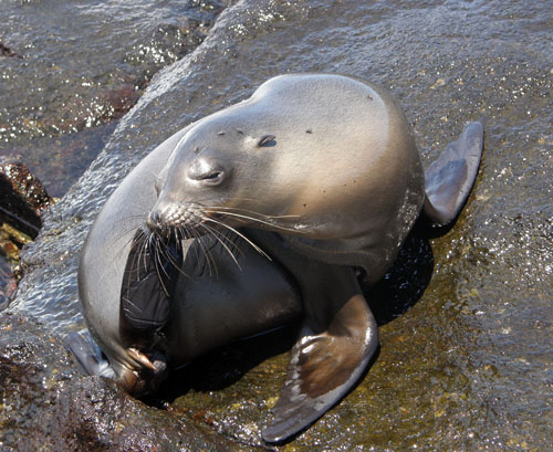Galapagos, North Seymour Island - cute sea lion scratching nose