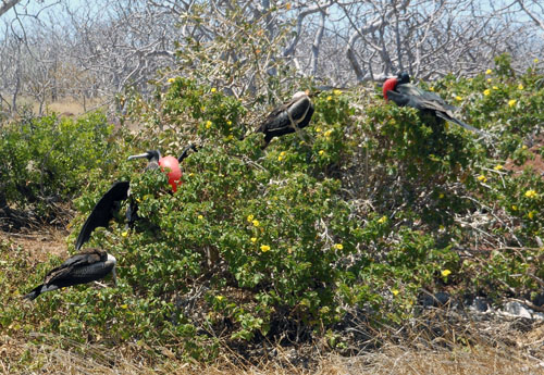 Galapagos, North Seymour Island - frigates nesting in bushes
