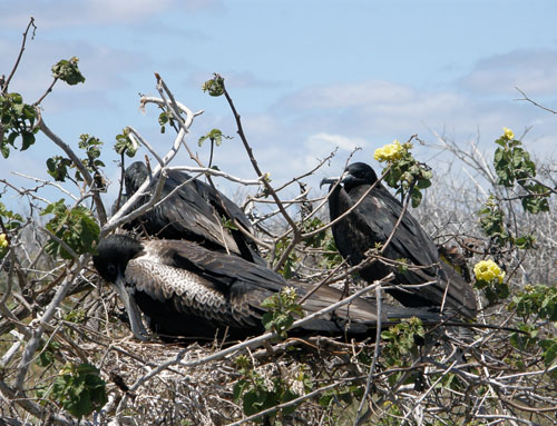 Galapagos, North Seymour Island - frigates nesting in trees