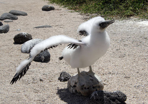 Galapagos, North Seymour Island - young blue-footed boobie learning to fly